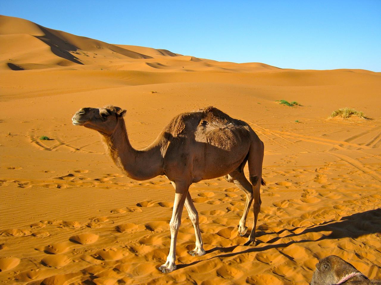 Картинки пустыни и верблюда
